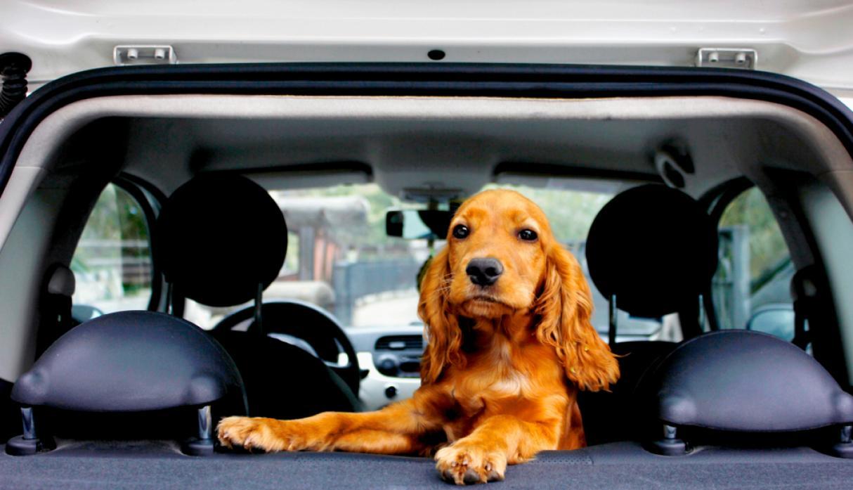 perro en auto 1