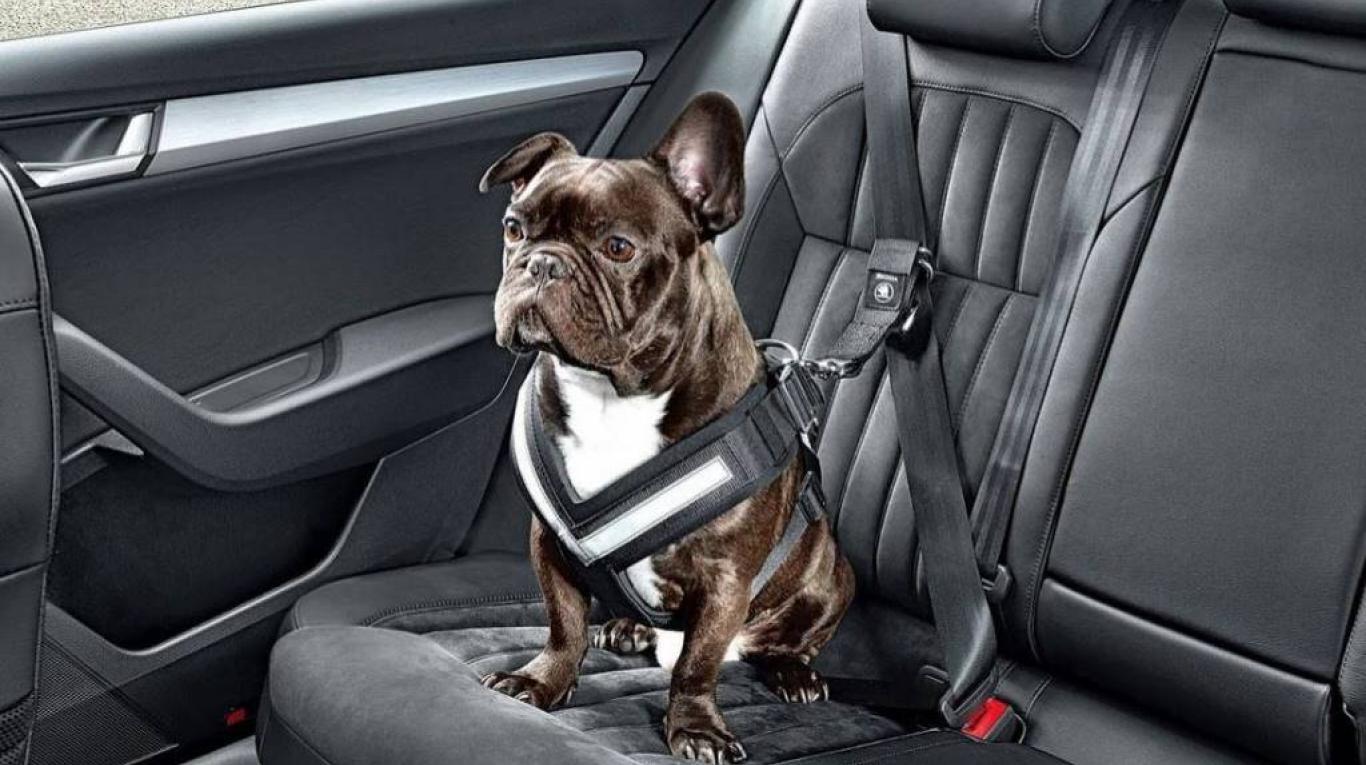perro en auto 3